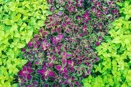 purplish green Coleus in the flowerbed - landscape design