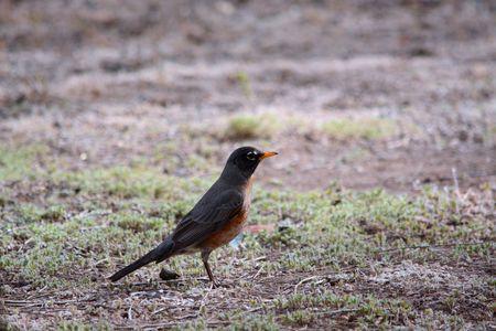 robin: Spring Robin in Field