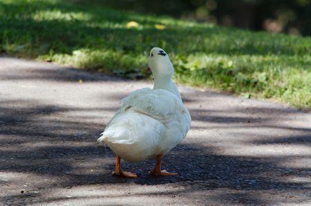 across: White Duck Walking Across Driveway