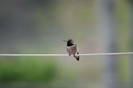 clothesline: Hummingbird on Clothesline