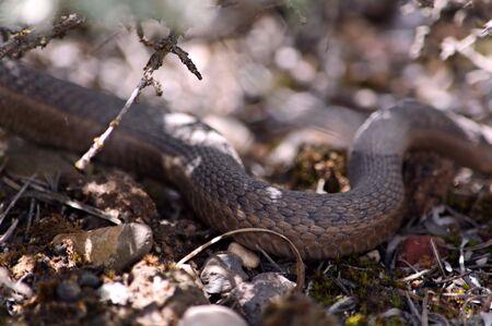 slithering: Slithering Snake Stock Photo