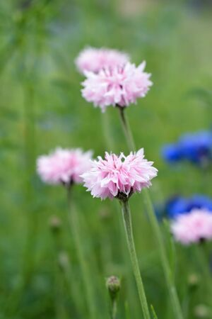 Pink and Purple Bachelors Button Flowers Growing in Field Stock Photo