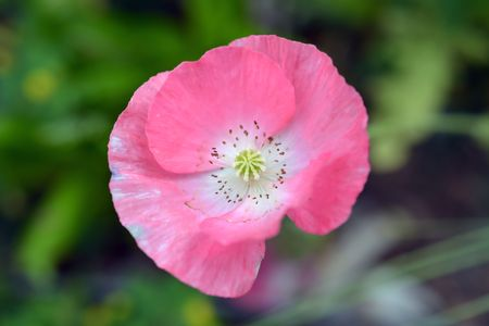 Pastel Pink Poppy Flower