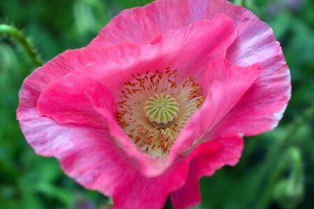 Bright Pink Poppy