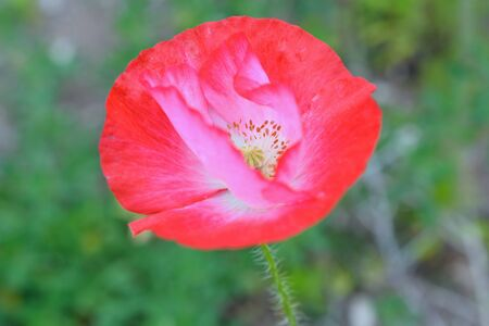 Vibrant and Colorful Poppy Flower Stock Photo