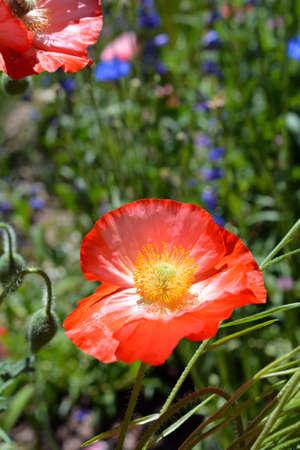 Poppy Flower in Full Bloom