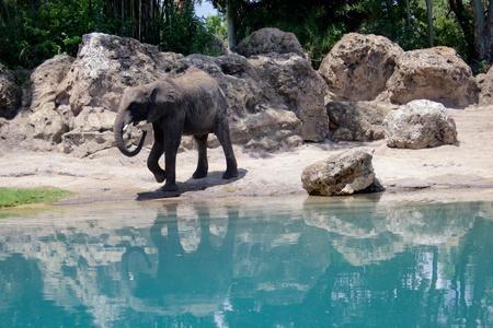 Majestic elephant at  Animal Kingdom Фото со стока