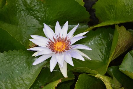 Lilly pad flower I saw in a pond