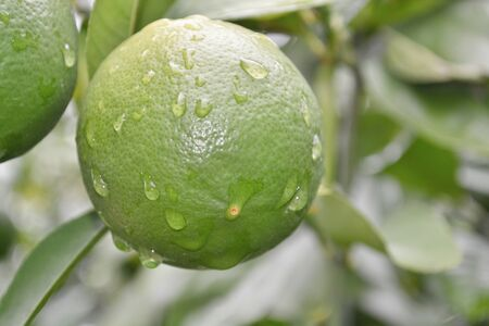 A lemon that is green till it finishes ripping and then turns yellow Stock fotó