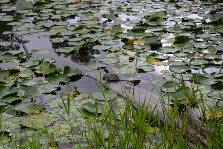 animal limb: A small turtle on a tree limb in a pond with lily pads Stock Photo