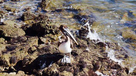 Brown pelican in Galveston Texas on rocks