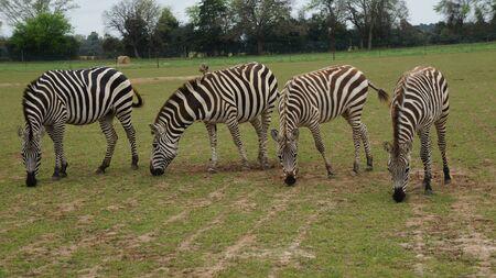 Four zebras we saw at grapeland drivethru safari in texas Stock Photo