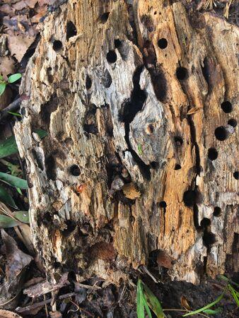 Rotten tree stump in th woods