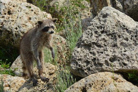 Raccoon on the rocks near the riv