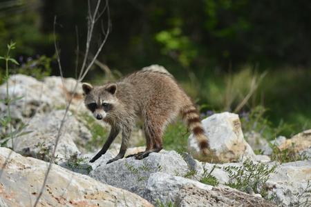 Raccoon on the rocks near the river