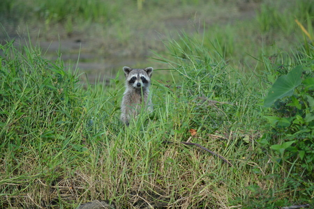 Raccon on the side of the river in the tall grass looking at us