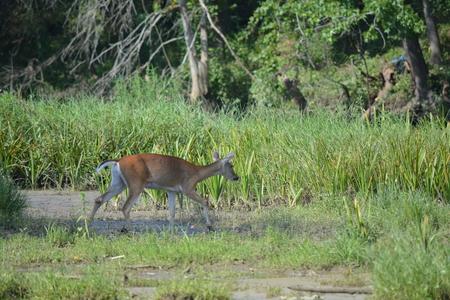 one deer on the riverside