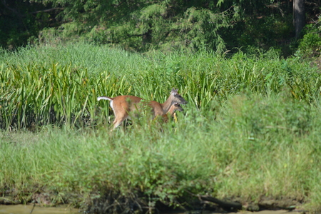 deer walking in the tall grass on the riverside