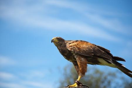Hunting Harris hawk  photo