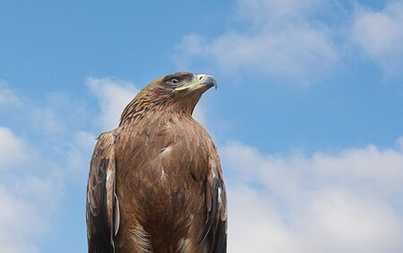 tawny: Tawny Eagle against a blue Sky Background Stock Photo