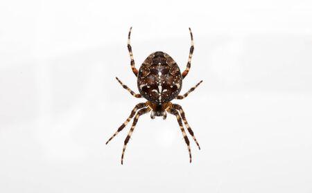 whote: Garden spider on white