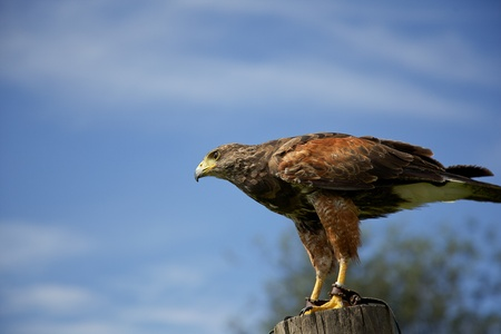 Harris Hawk photo
