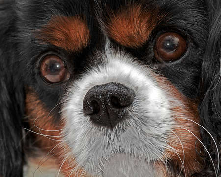 close up   head: A close up head shot of a King Charles Cavalier Dog
