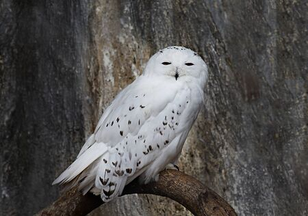 snowy owl: Snowy owl sitting on a Branch Stock Photo