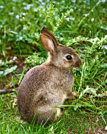 A very young rabbit in the wild against a green background