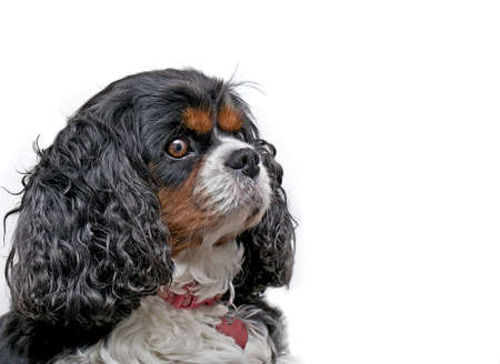 A Cavaler King Charles dog on a white background looking to the right photo