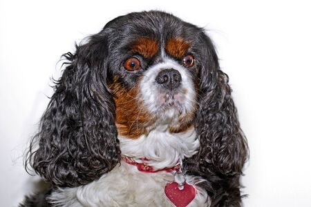 a king charles cavalier with a collar looking at the camera on a white background photo
