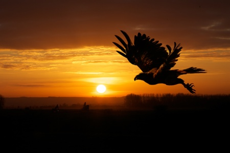 Harris hawk flying at Dusk with a setting sun in background