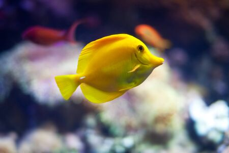 yellow tang: Yellow tang fish with coral reef in background Stock Photo