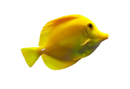 tropical fish: Yellow tang fish isolated on white background