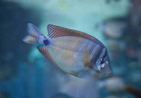 A desjardini tang fish with a blue background photo