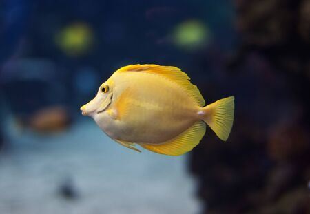 yellow tang: Yellow tang swimming with coral reef in background