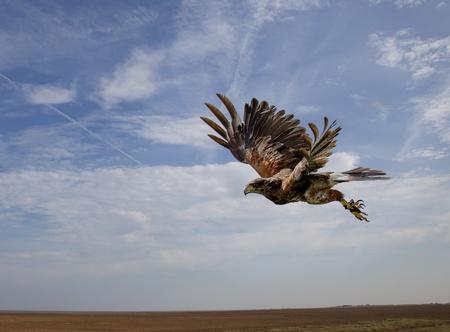 ファルコン: ホークのハリス鳥飛ぶ空中で取る直後後青い空を背景に 写真素材