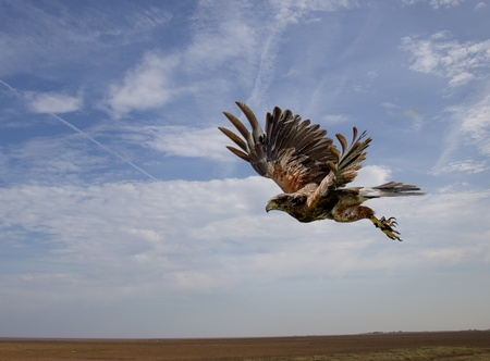 A harris hawk bird flying in mid-air just after take off against a blue sky background