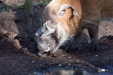bush hog: Red River Hog Alimentaci�n