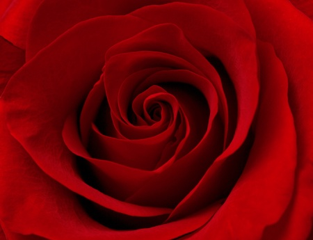 Close up macro photograph of red rose photo