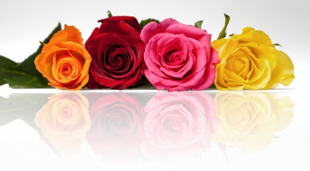 Mixed roses with reflection on white background Stock Photo