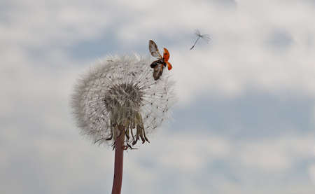 A dandelion with seed flying away followed by a ladybird photo