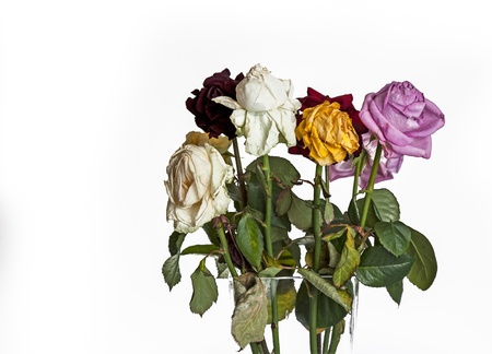 Old roses on white background photo