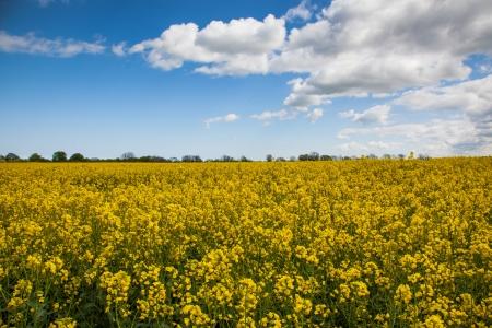 A field of oil seed rape with blue sky photo