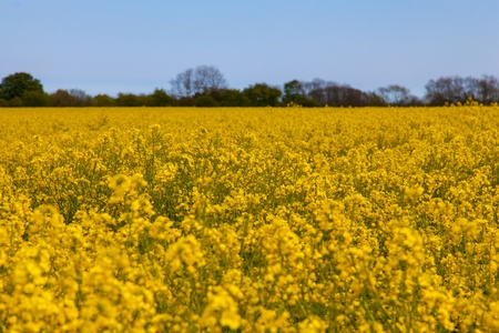 Yellow oil seed rape field with a blue sky photo