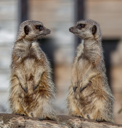 Meerkats on treestump looking at each other