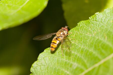 hover: Hover fly macro on a leaf