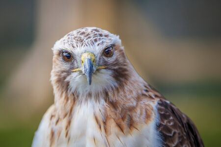 red tailed hawk: Red tailed hawk looking head on Stock Photo