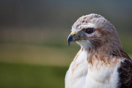 Female red tailed hawk with copy space photo