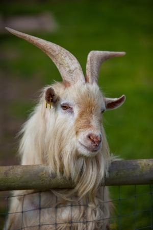 Close up de una cabra que mira hacia fuera sobre la cerca Foto de archivo
